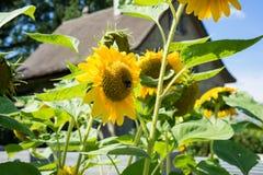 Girasol con la abeja y casa vieja con el fondo del cielo azul Foto de archivo libre de regalías