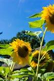 Girasol con la abeja y casa vieja con el fondo del cielo azul Fotos de archivo