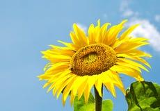 Girasol con la abeja y el cielo azul Imagen de archivo libre de regalías
