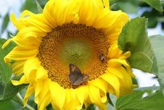 Girasol con la abeja y la mariposa Imagen de archivo