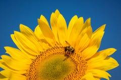 Girasol con la abeja y skyCR2 azul Imagen de archivo