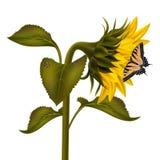 Girasol con la mariquita y la mariposa del swallowtail Fotos de archivo libres de regalías