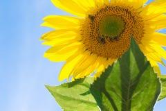 Girasol con las abejas en fondo del cielo Fotografía de archivo