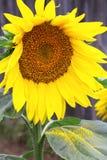 Girasol con polen en la hoja verde fotografía de archivo