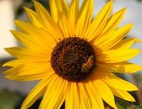 Girasol con una abeja Imágenes de archivo libres de regalías