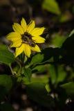 Girasol con una abeja Imagen de archivo