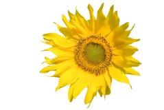 Girasol con una abeja Imagen de archivo libre de regalías