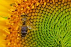 Girasol con una abeja de la miel Imágenes de archivo libres de regalías