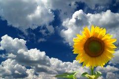 Girasol contra el cielo azul Foto de archivo libre de regalías
