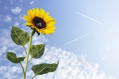 Girasol contra el cielo azul Fotografía de archivo