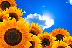 Girasol contra el cielo azul Imagen de archivo