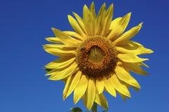 Girasol contra un cielo azul Foto de archivo libre de regalías