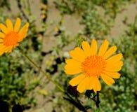 Girasol de desierto foto de archivo libre de regalías