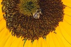Girasol 04 de la abeja Foto de archivo libre de regalías