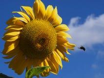 Girasol de la abeja Imagenes de archivo