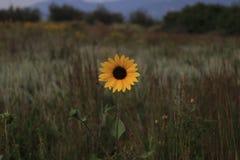 Girasol de la buena mañana en prado fotos de archivo