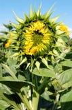 Girasol de la flor Foto de archivo libre de regalías