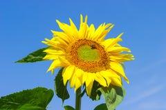 Girasol de la flor con la abeja contra el cielo Fotos de archivo libres de regalías