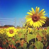 Girasol de la flora Foto de archivo libre de regalías