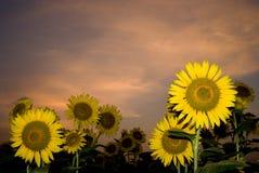 Girasol de la puesta del sol Fotos de archivo libres de regalías