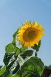 Girasol de maduración en un día de verano La abeja se está sentando en el girasol Fotos de archivo libres de regalías