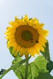 Girasol de maduración en un día de verano Las abejas y el escarabajo se están sentando en el girasol Foto de archivo