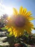 Girasol de nuevo al sol foto de archivo libre de regalías