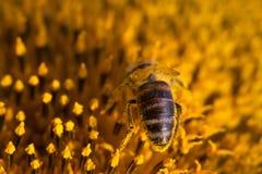 Girasol de polinización de la abeja de la miel Semillas e insecto de flor macras de la visión que buscan el néctar Profundidad de Fotos de archivo
