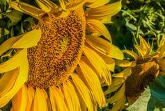Girasol de polinización de la abeja industriosa Fotografía de archivo
