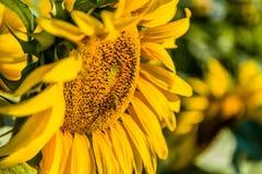Girasol de polinización de la abeja industriosa Foto de archivo