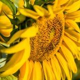 Girasol de polinización de la abeja industriosa Imagen de archivo