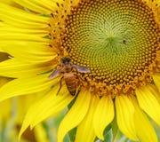 Girasol de polinización de la abeja de la miel Fotografía de archivo libre de regalías