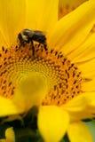 Girasol de polinización de la abeja--vertical Imagen de archivo