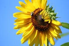 Girasol debajo de los cielos azules Imagen de archivo libre de regalías