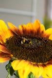 Girasol decorativo Fotos de archivo