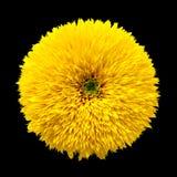 Girasol decorativo de la flor en fondo negro Fotografía de archivo