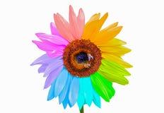 Girasol del arco iris con las abejas de la miel aisladas en blanco Foto de archivo libre de regalías