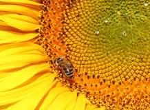 Girasol del primer con la abeja Imagen de archivo libre de regalías