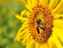 Girasol del primer con la abeja Imágenes de archivo libres de regalías