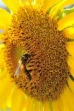 Girasol del primer con la abeja Fotografía de archivo