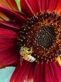 Girasol del rojo anaranjado Fotografía de archivo