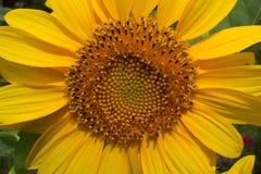 Girasol del verano Fotografía de archivo libre de regalías