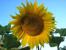 Girasol del verano Imágenes de archivo libres de regalías