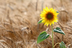 Girasol en campo de trigo Fotos de archivo