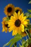 Girasol en el cielo azul Fotos de archivo libres de regalías