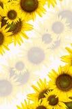 Girasol en el fondo blanco Imagen de archivo libre de regalías