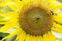 Girasol en el fondo blanco con las abejas Fotos de archivo