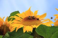 Girasol en el jardín en el pueblo Abbenbroek en el verano Fotografía de archivo libre de regalías