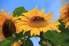 Girasol en el jardín en el pueblo Abbenbroek en el verano Fotos de archivo