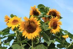 Girasol en el jardín en el pueblo Abbenbroek en el verano Imagen de archivo libre de regalías